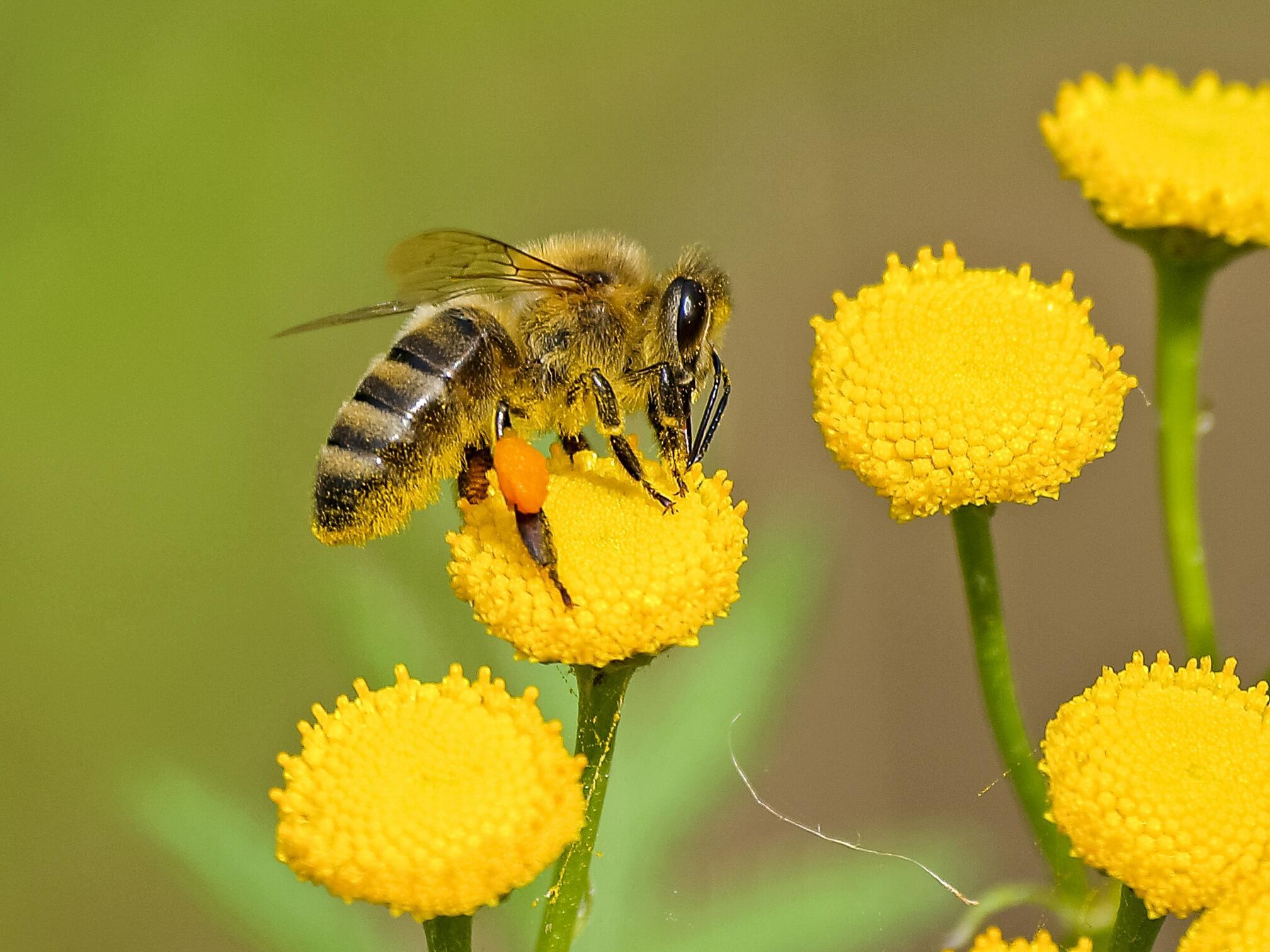 Hình ảnh con con ong vàng đẹp