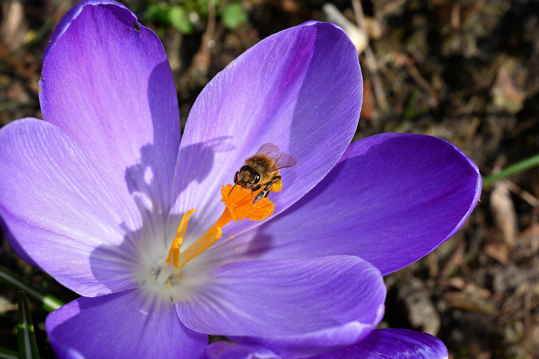 Hình ảnh con hong hút mật