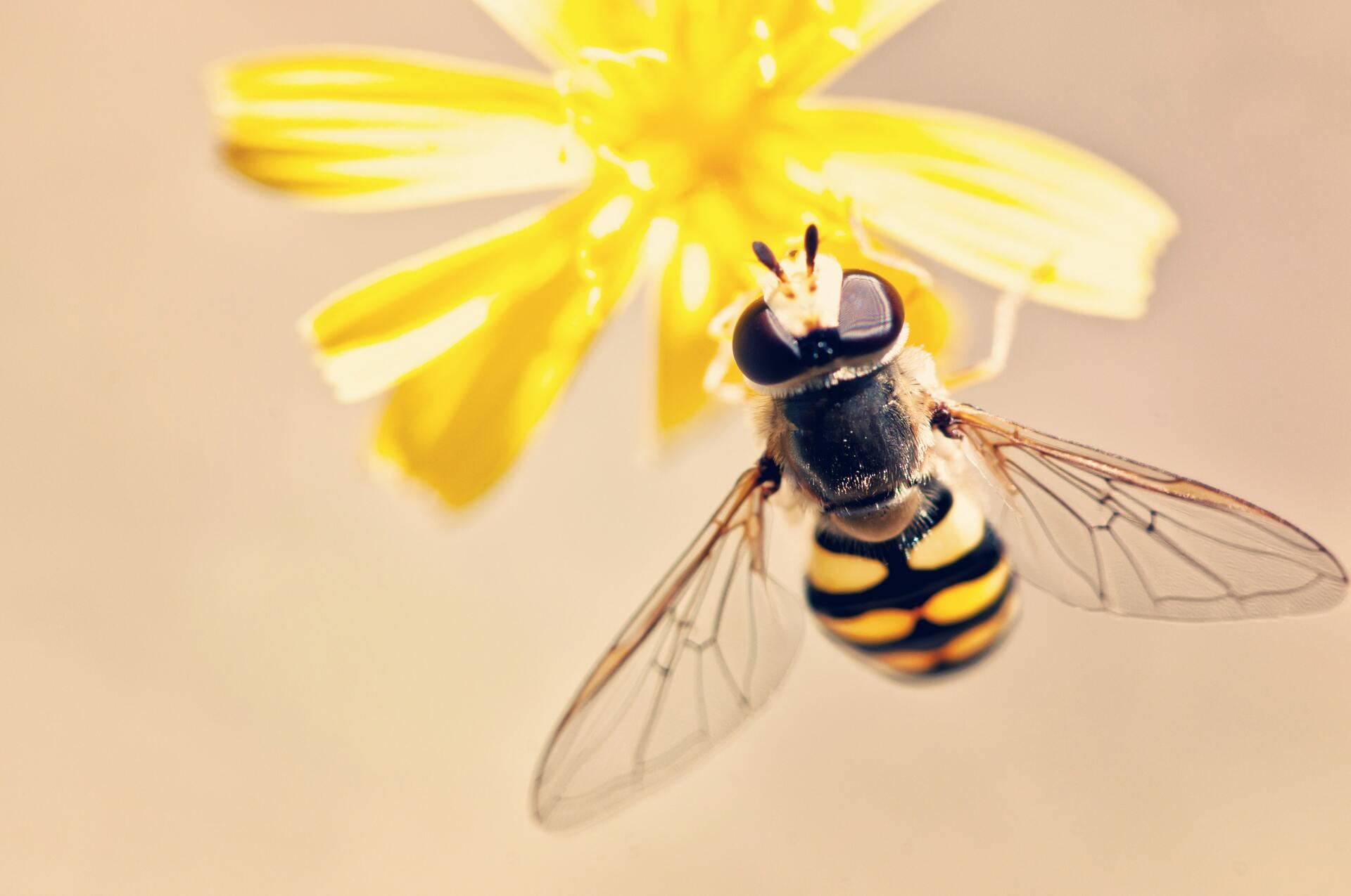 Hình ảnh con ong bầu