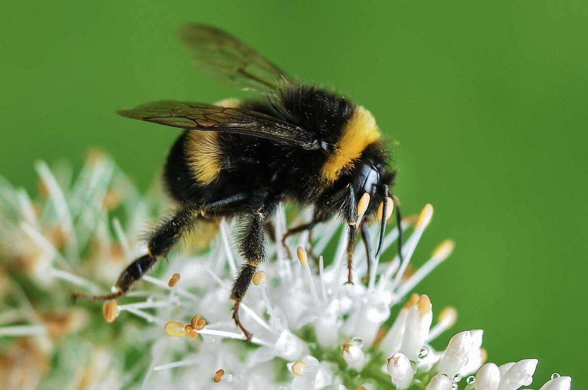 Hình ảnh con ong chăm chỉ đẹp