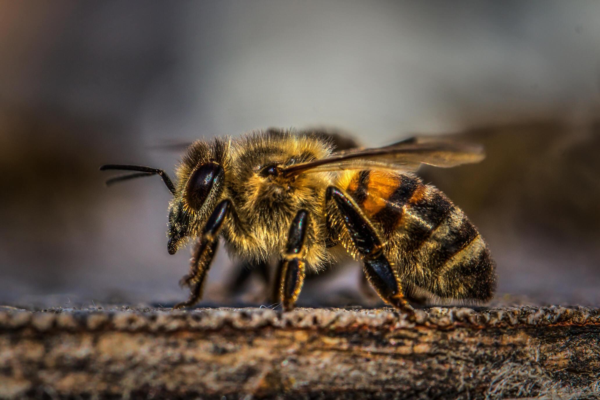 Hình ảnh con ong chúa