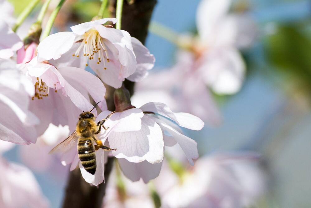 Hình ảnh con ong đi tìm mật