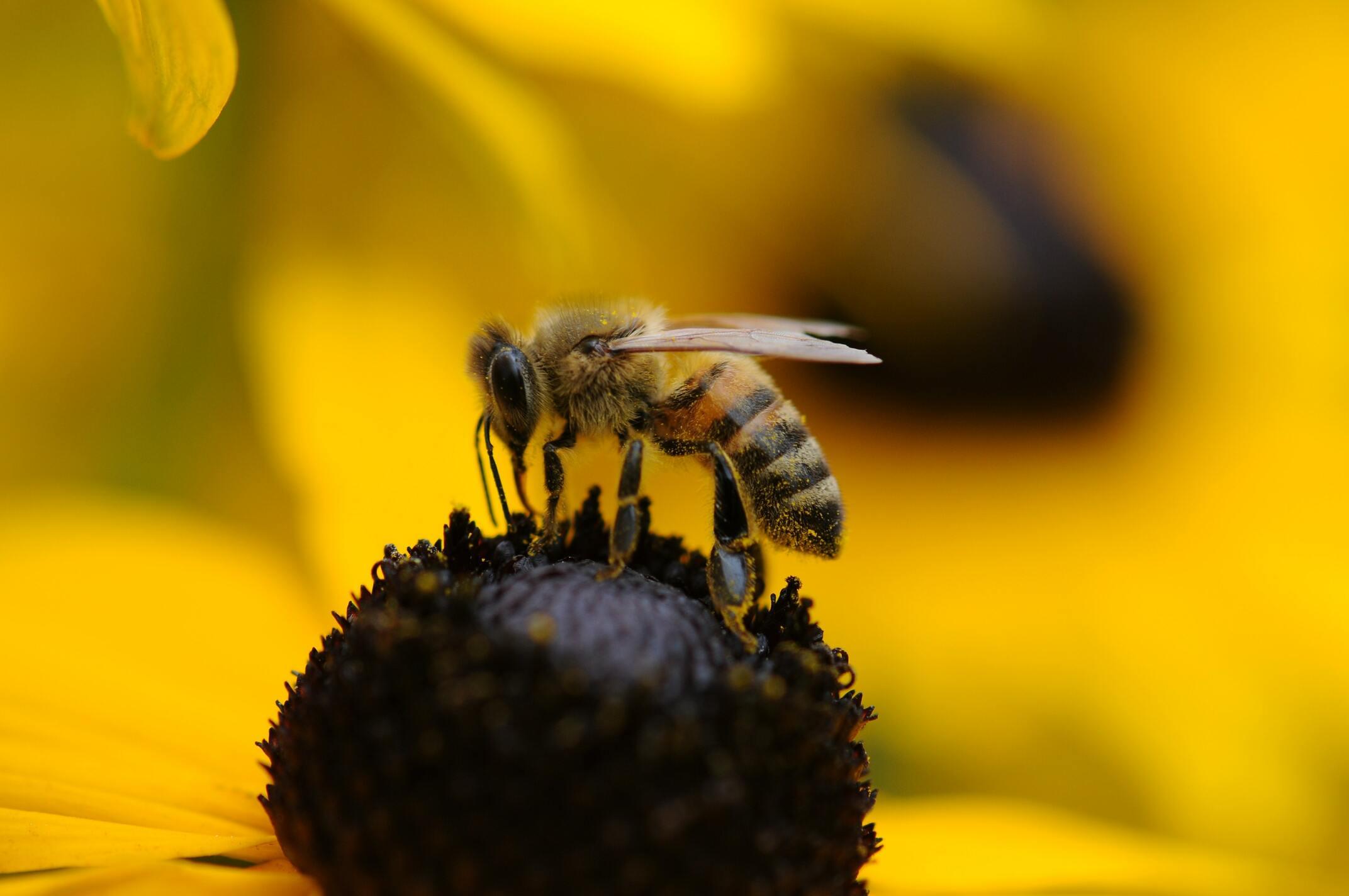 Hình ảnh con ong hút mật đẹp