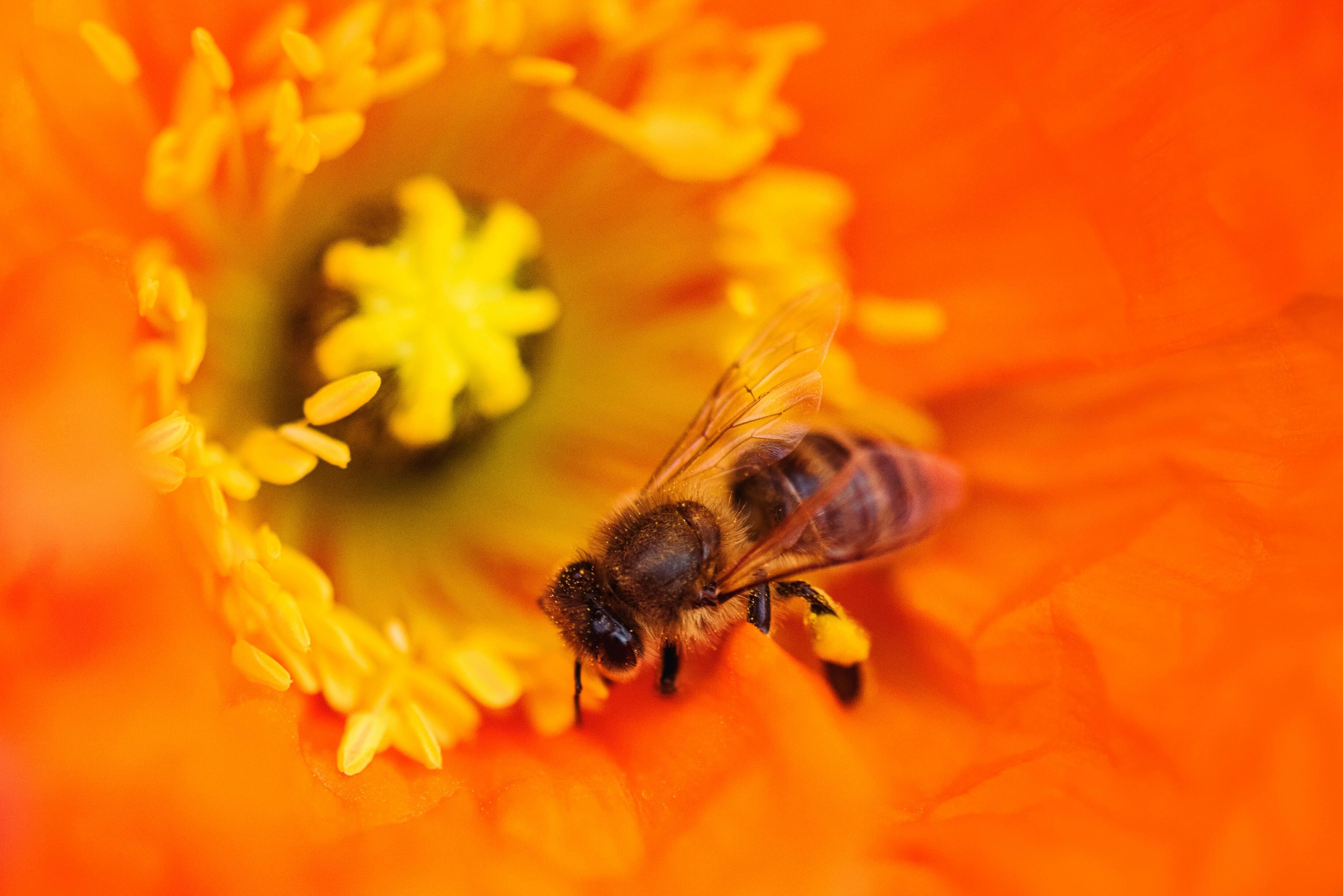 Hình ảnh con ong hút mật hoa đẹp nhất