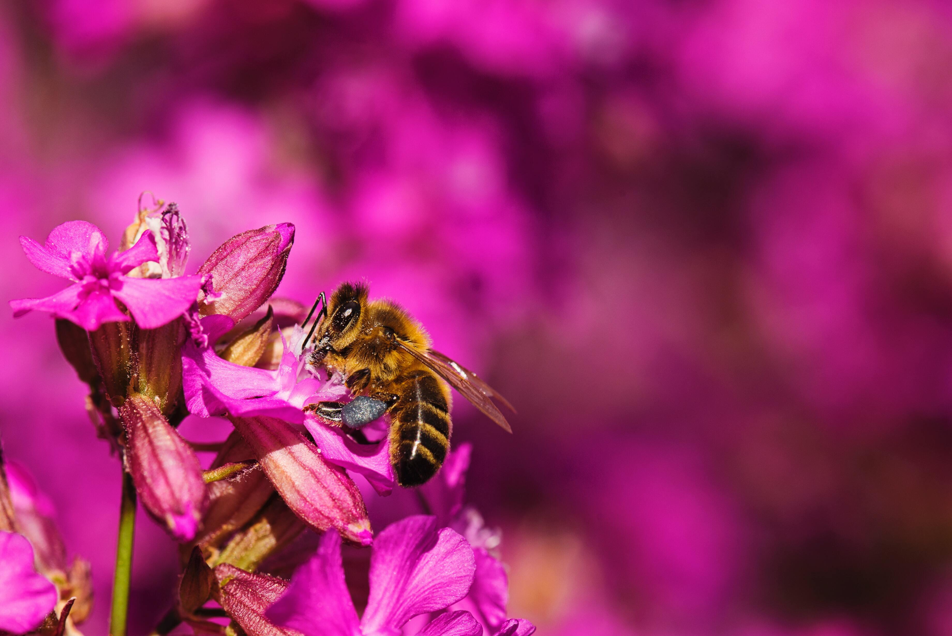 Hình ảnh con ong hút mật hoa đẹp