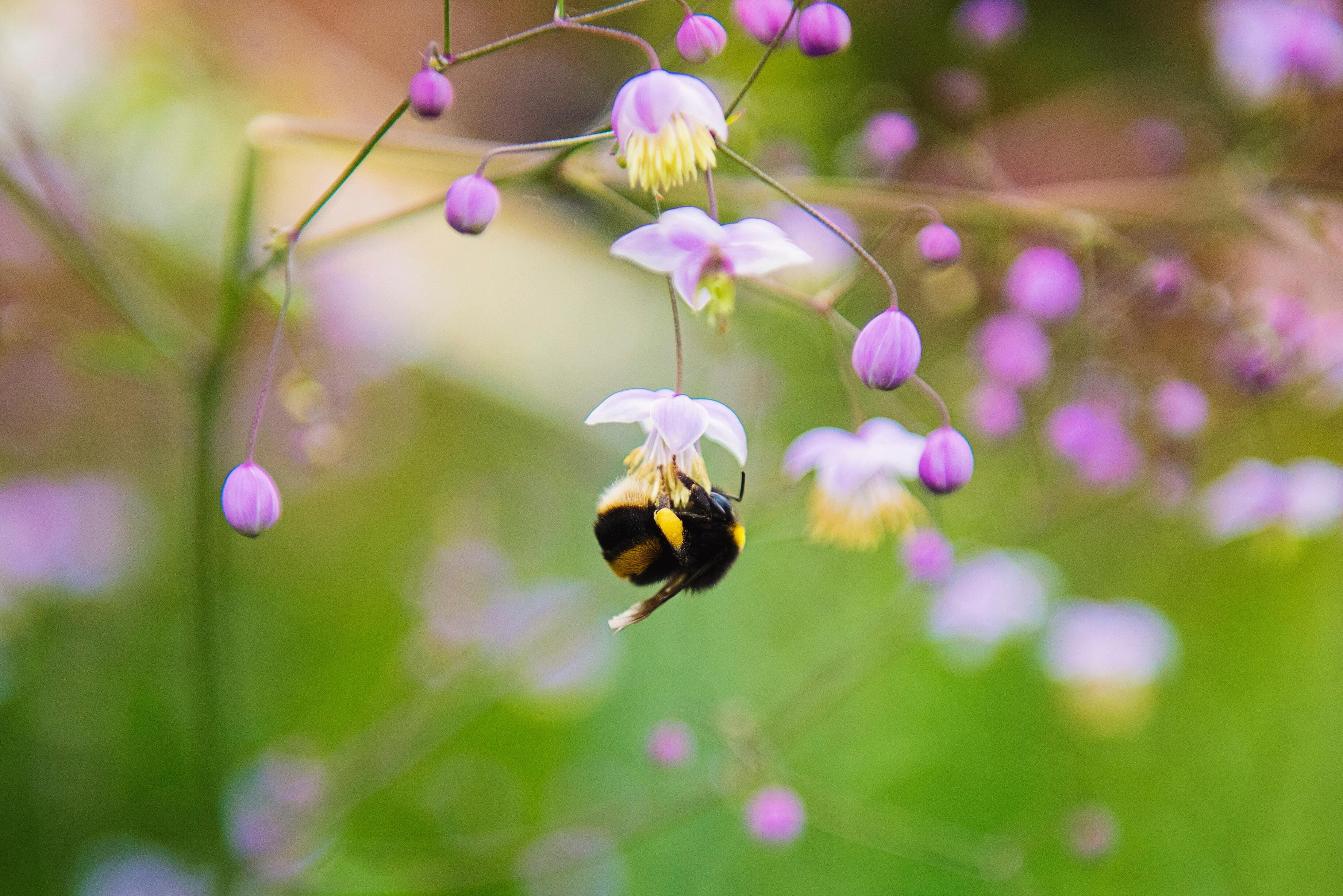 Hình ảnh con ong hút mật hoa