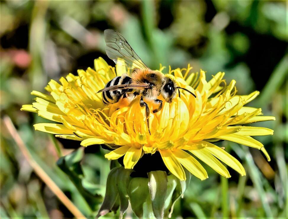 Hình ảnh con ong lấy mật bông hoa