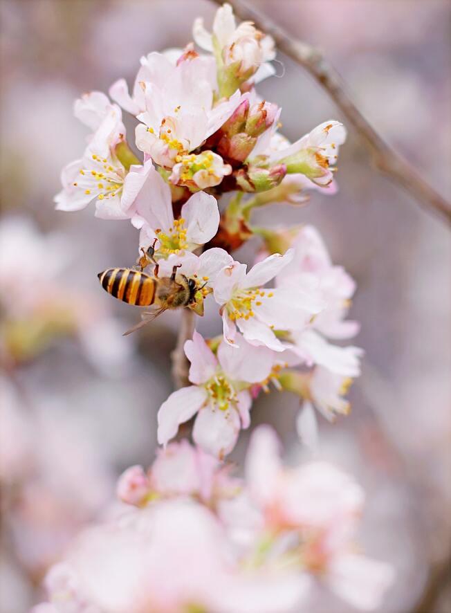 Hình ảnh con ong lấy mật hoa anh đào