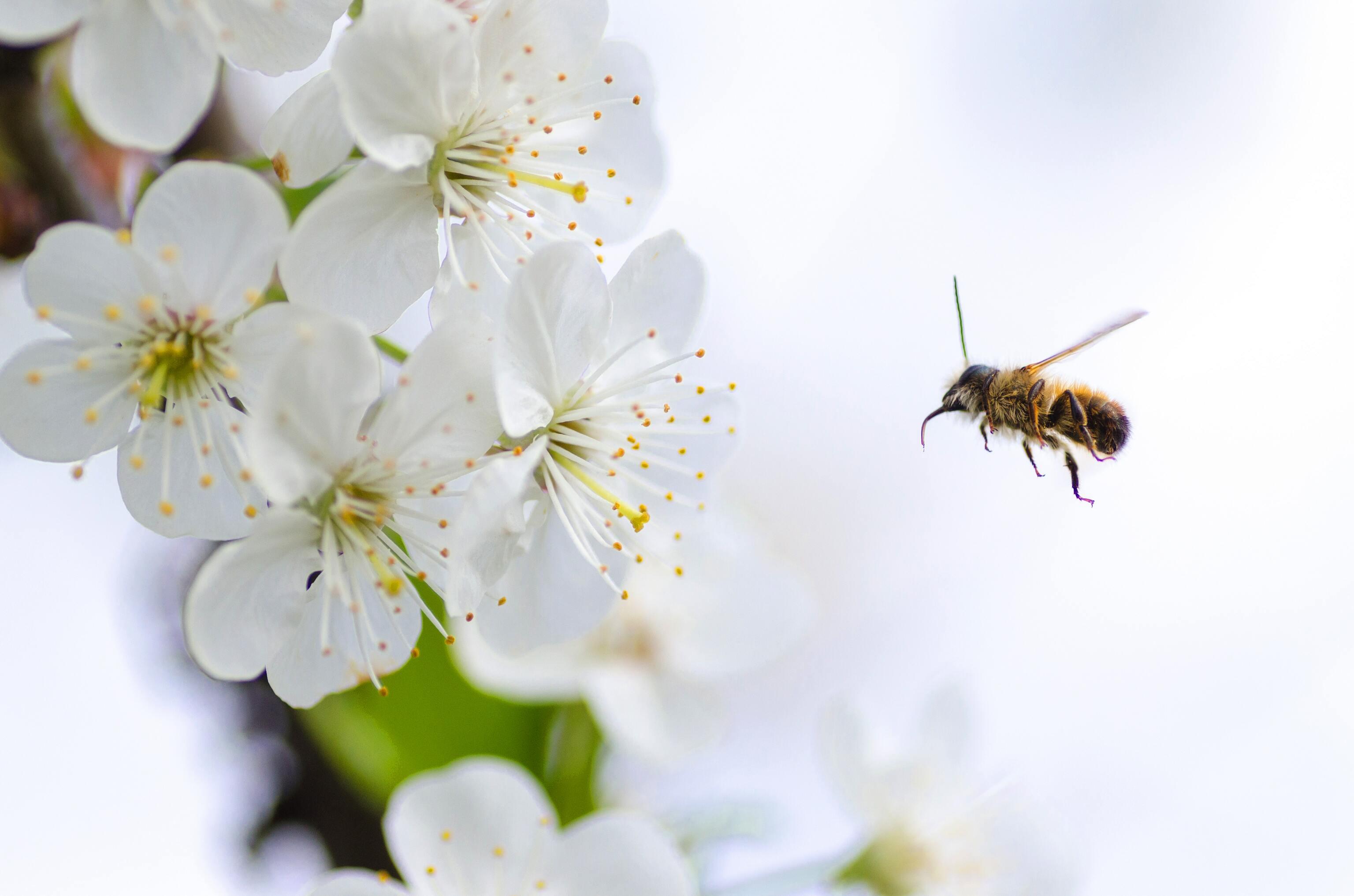 Hình ảnh con ong mật đẹp nhất