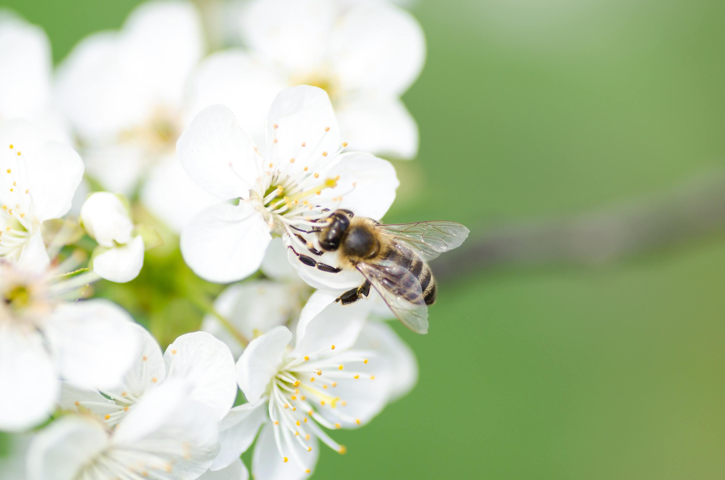 Hình ảnh con ong mật đẹp