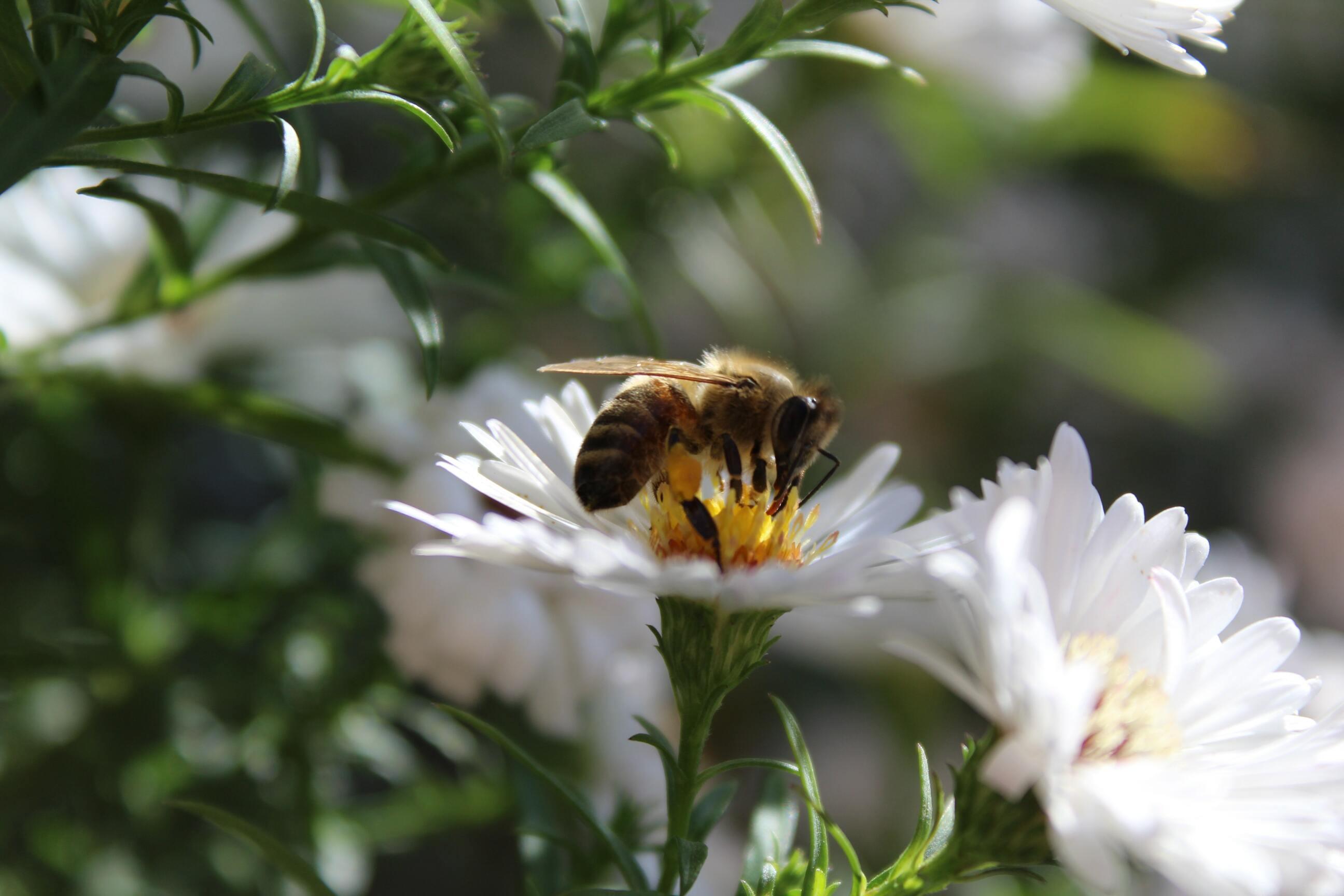 Hình ảnh con ong mật