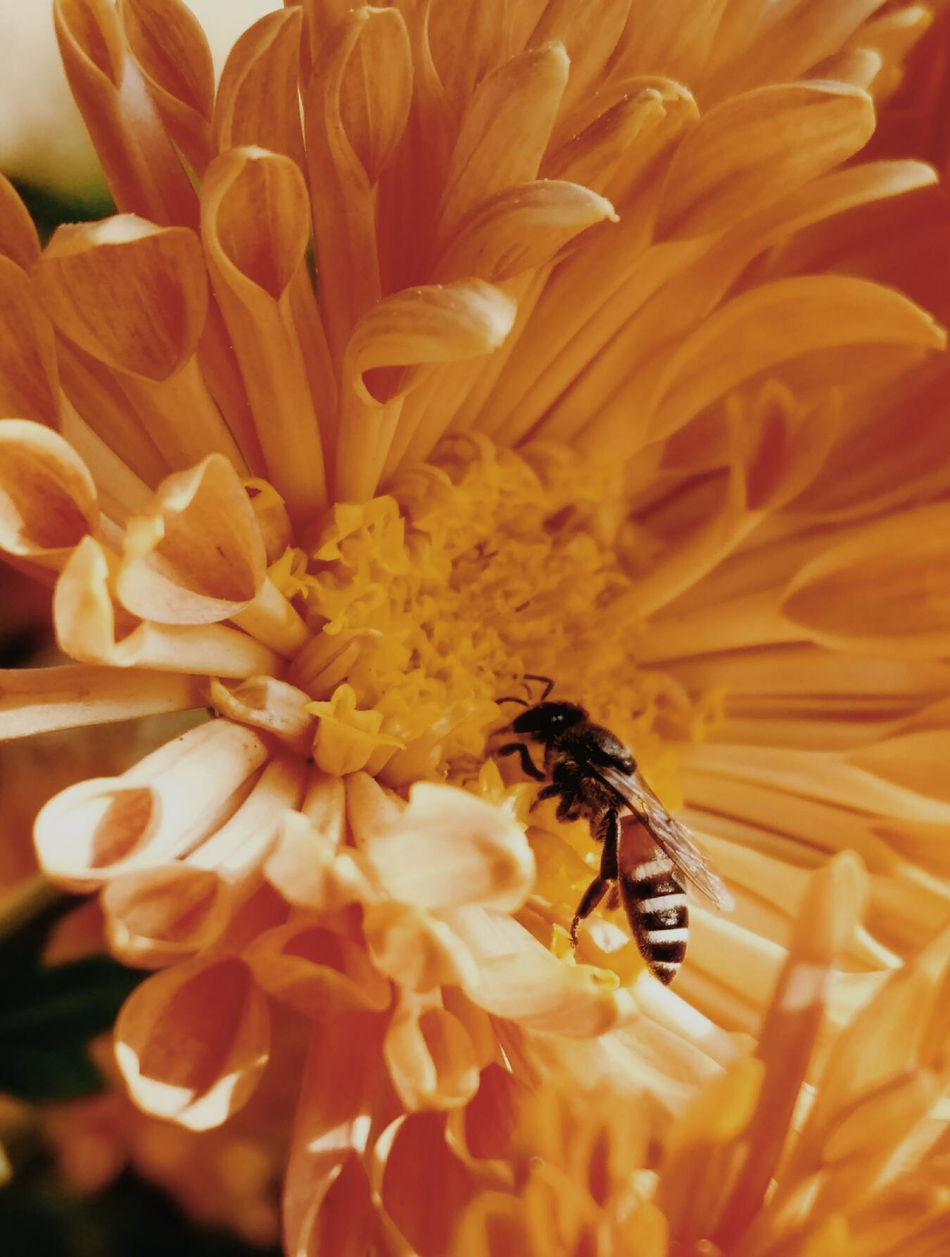 Hình ảnh con ong thợ lấy mật đẹp