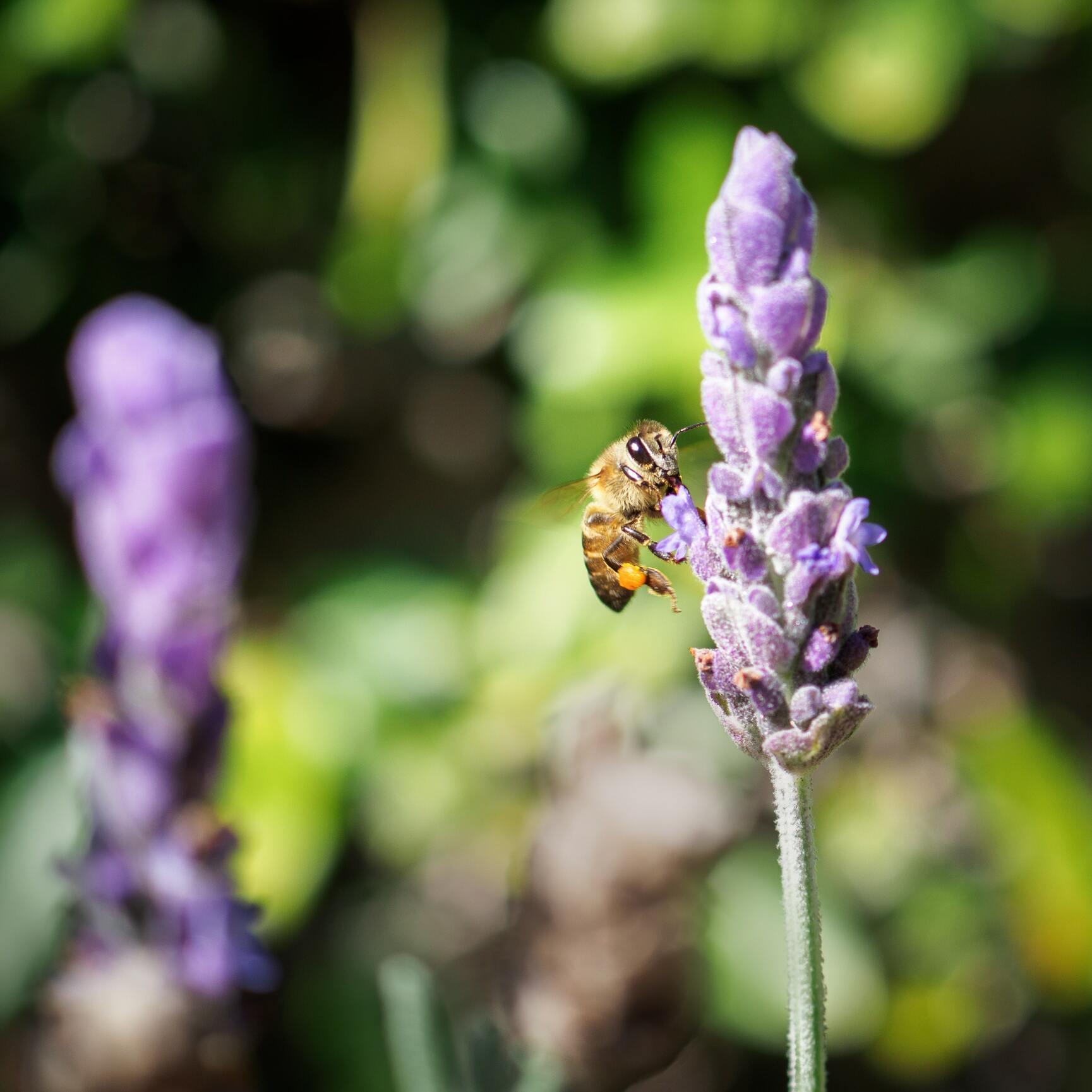 Hình ảnh con ong thợ lấy mật