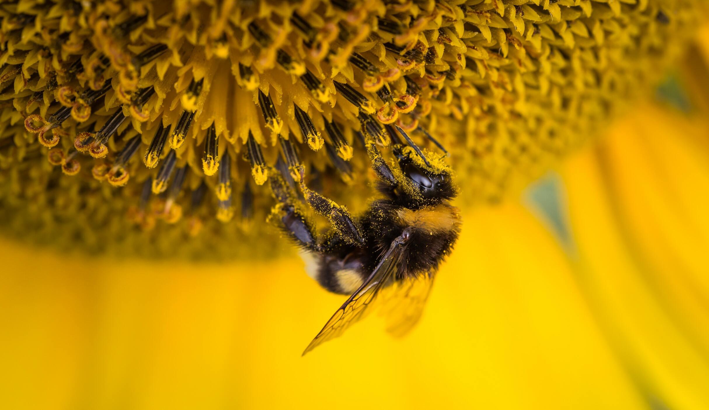 Hình ảnh con ong vàng đẹp nhất