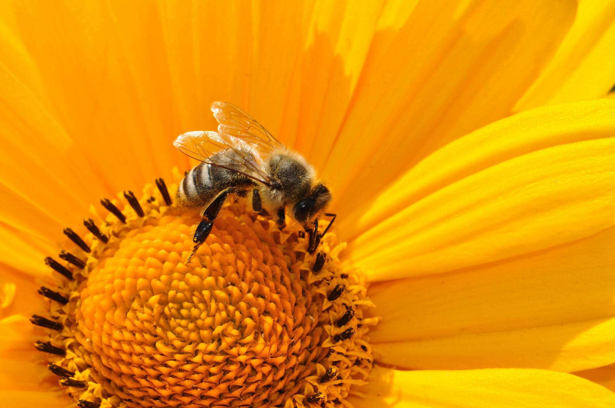 Hình ảnh con ong vàng lấy mật hoa