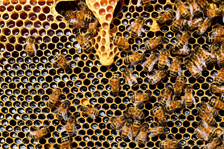 Hình ảnh đàn ong