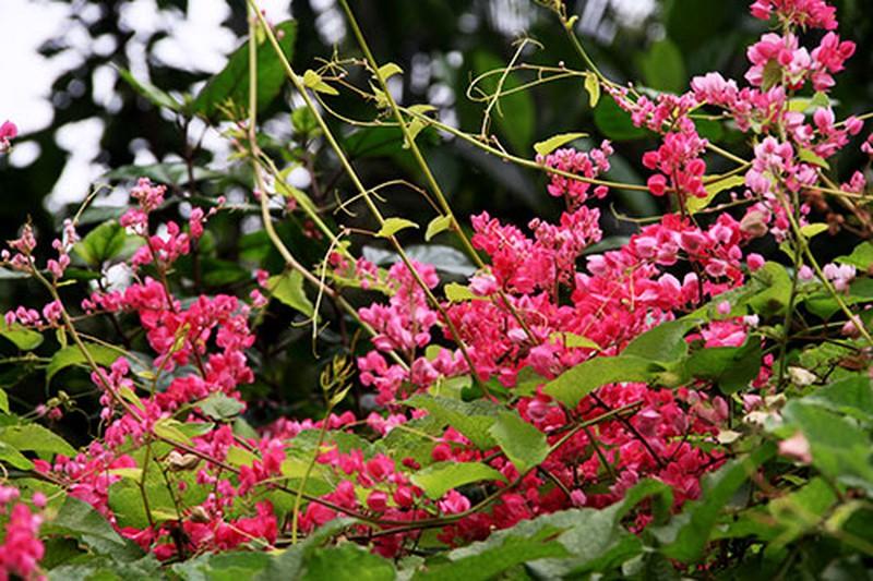 Hình ảnh đẹp về những chùm hoa tigon