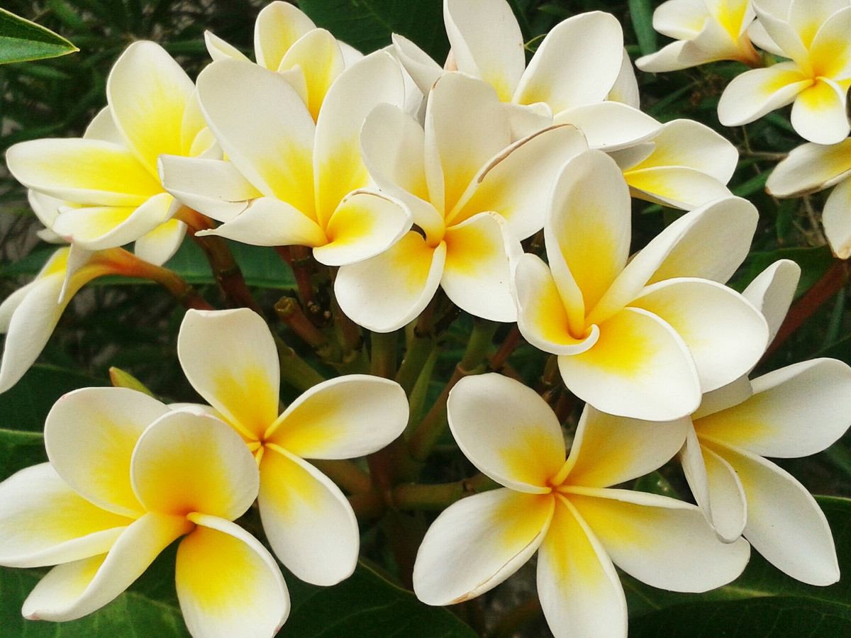 Hình ảnh hoa sứ vàng đẹp nhất