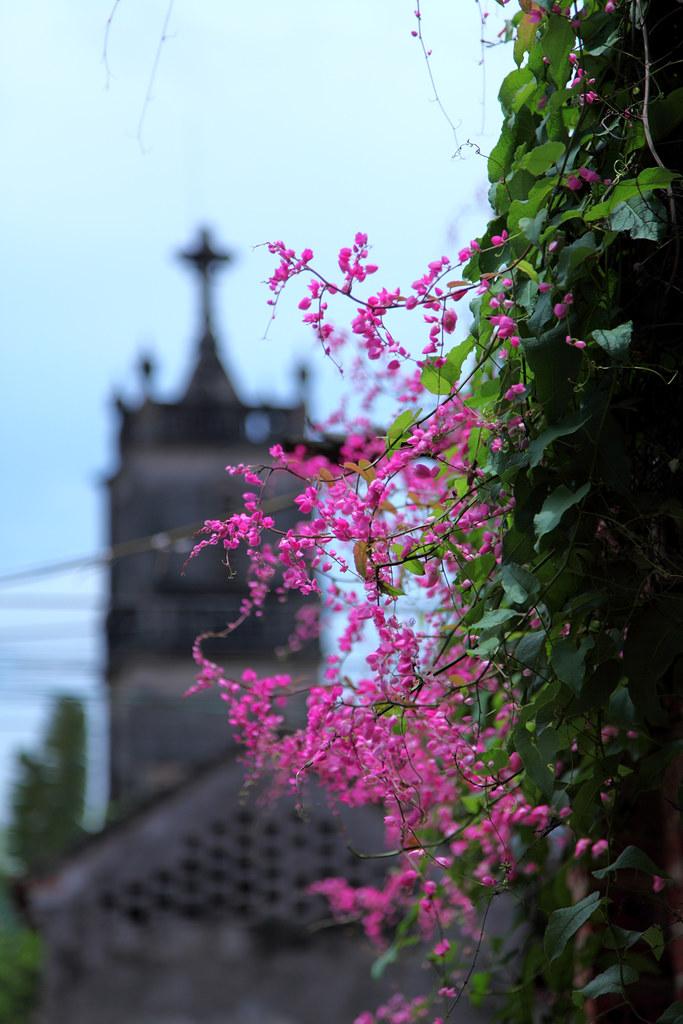 Hình ảnh hoa tigon hồng tím đẹp