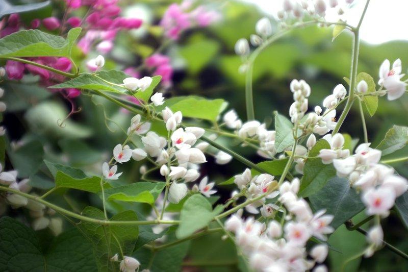 Hình ảnh hoa tigon hồng trắng