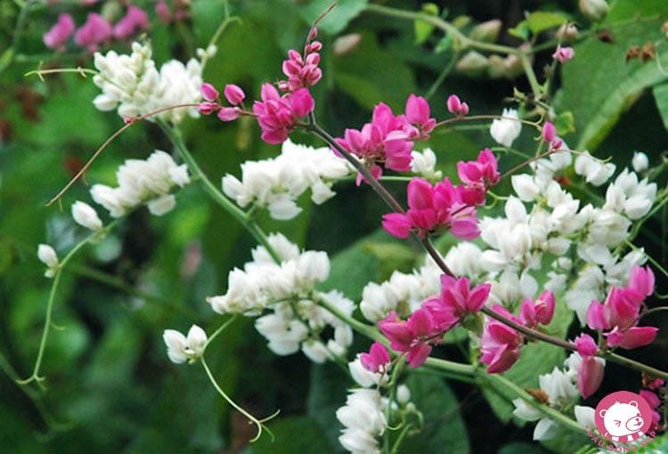 Hình ảnh hoa tigon hồng và trắng