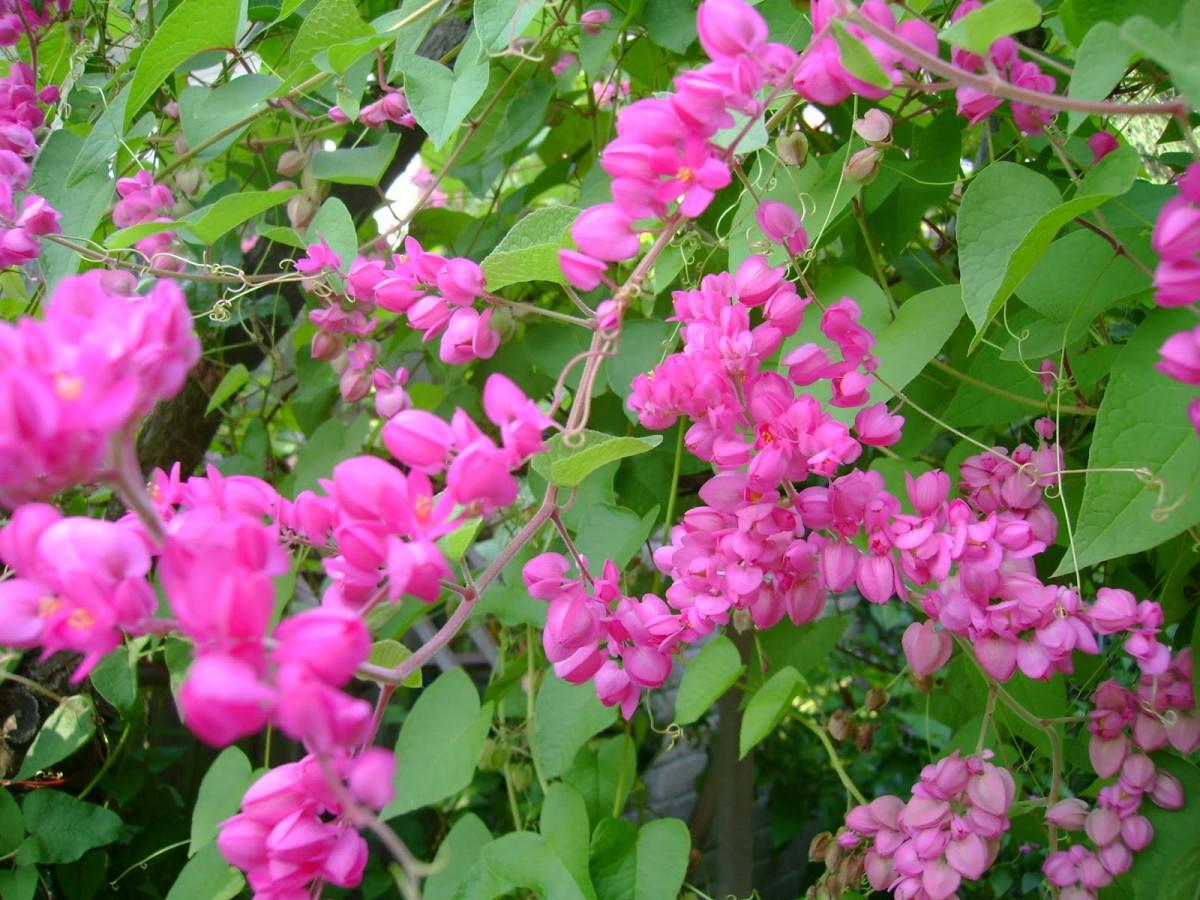 Hình ảnh hoa tigon hồng