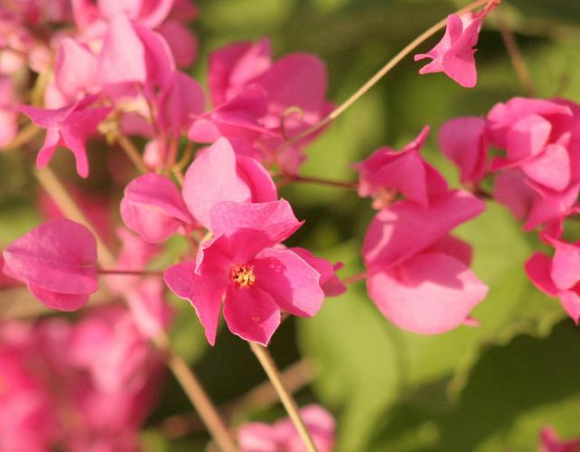 Hình ảnh hoa tigon khoe sắc