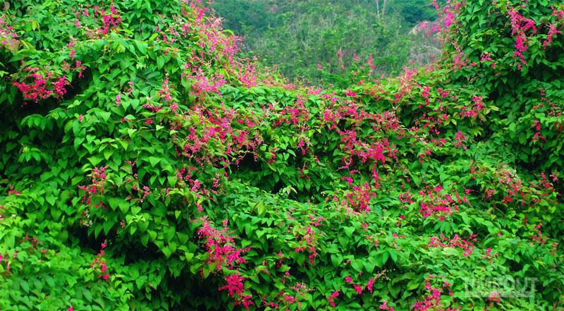 Hình ảnh hoa tigon ngoài tự nhiên
