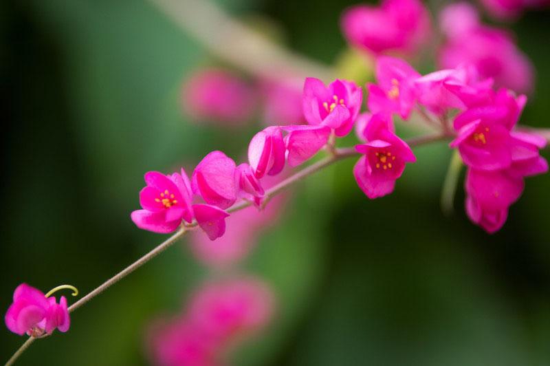 Hình ảnh hoa tigon nhỏ