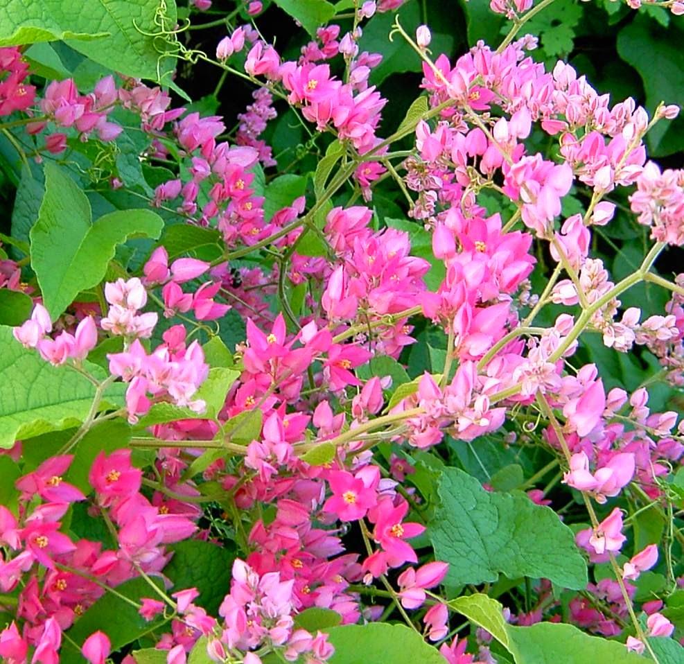 Hình ảnh hoa tigon nở đẹp