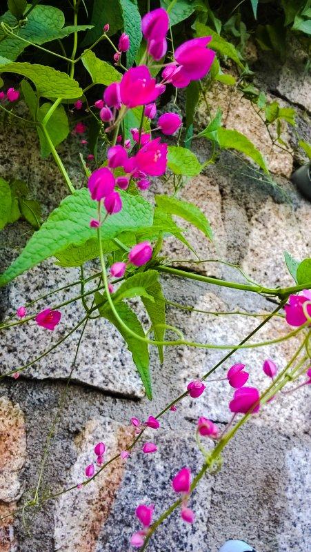 Hình ảnh hoa tigon tím đẹp