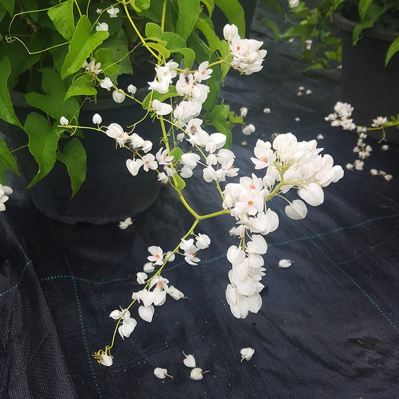 Hình ảnh hoa tigon trắng