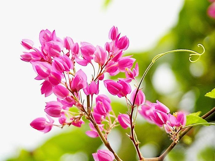 Hình ảnh hoa tigon trong nắng