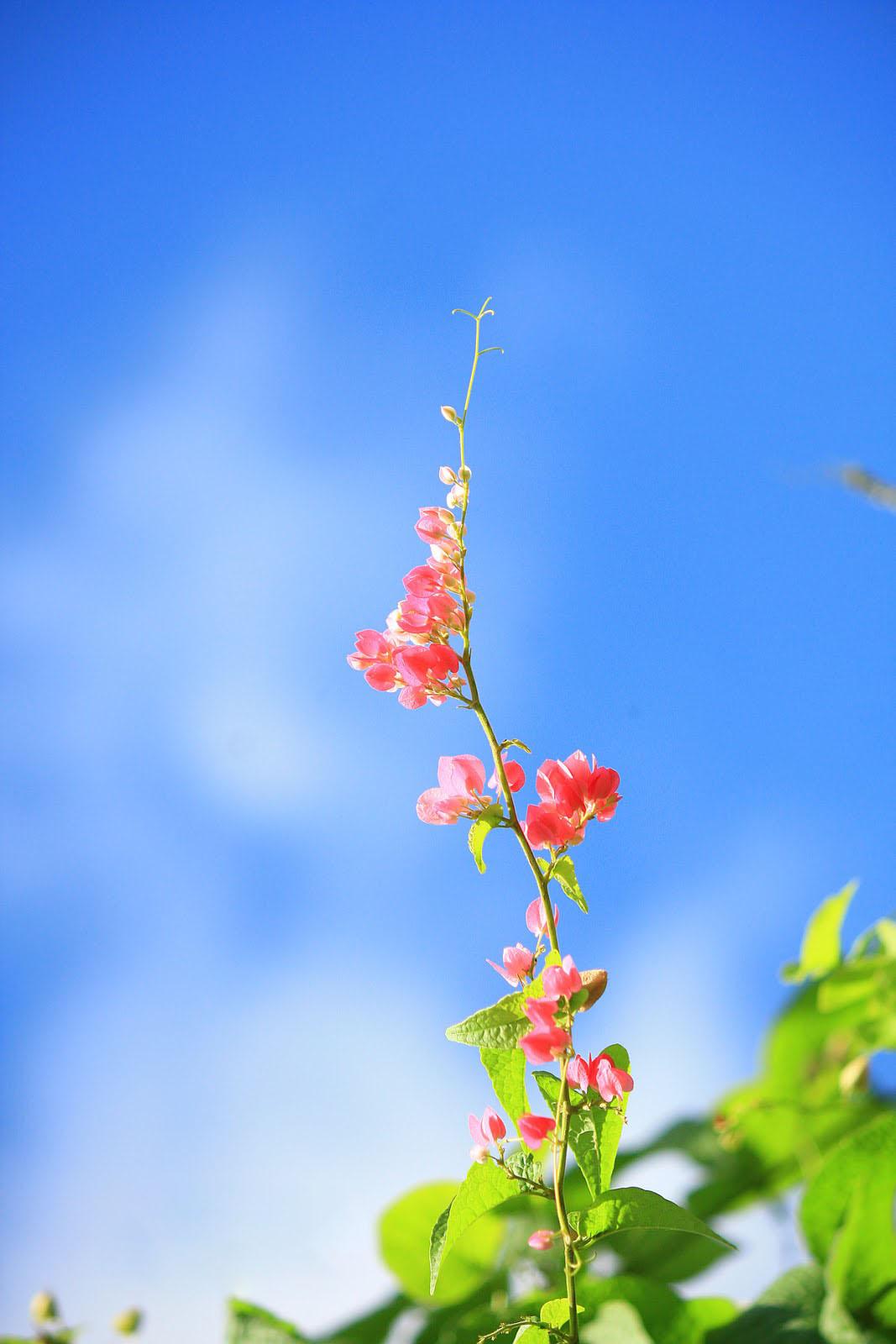 Hình ảnh hoa tigon vươn cao