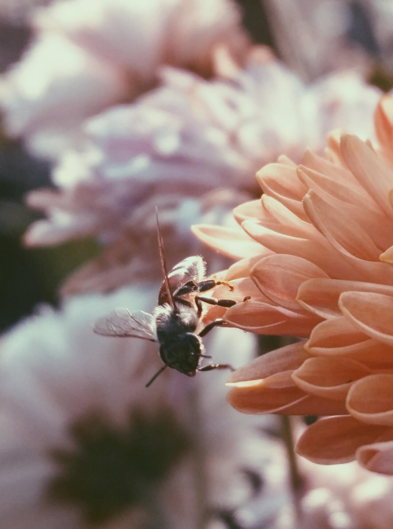 Hình ảnh ong lấy mật hoa đẹp