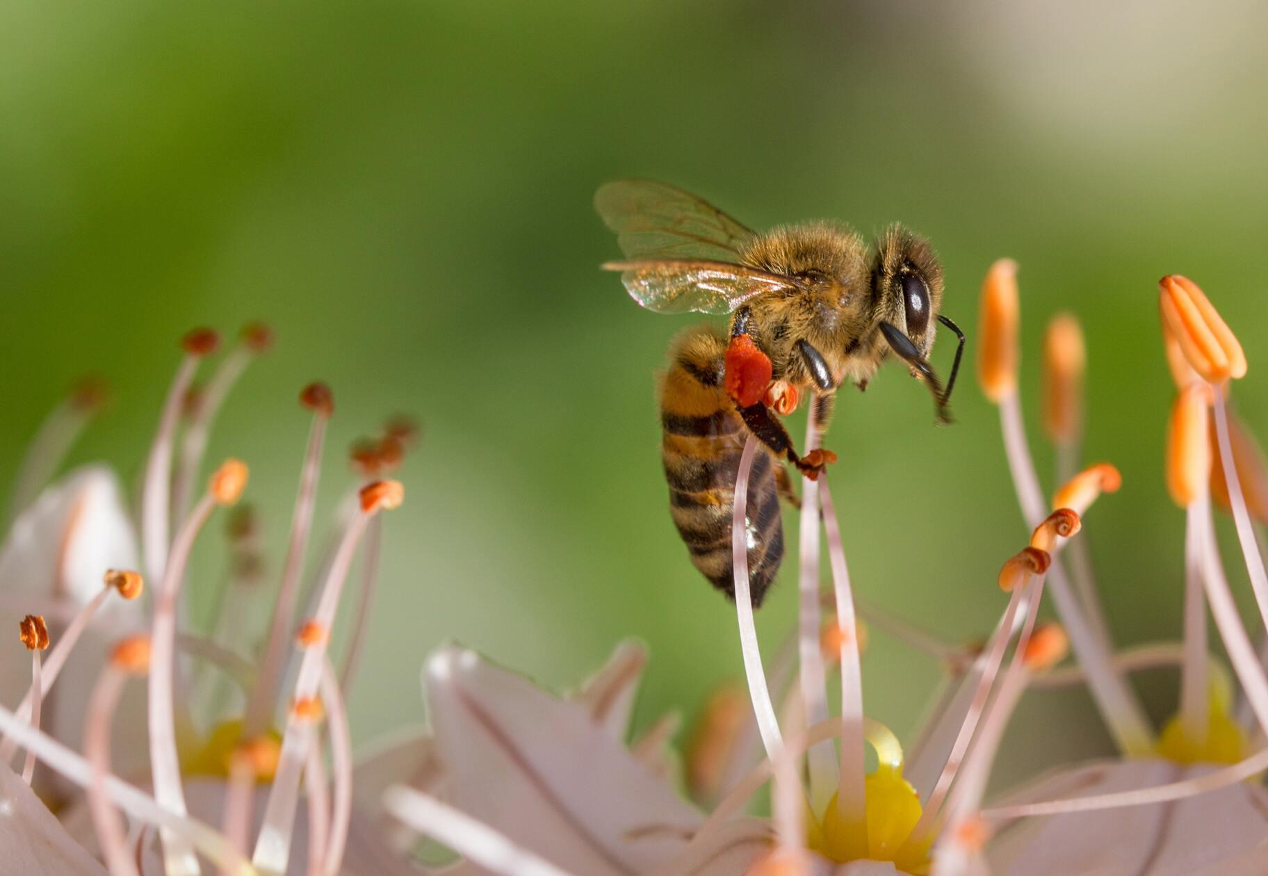 Hình ảnh ong lấy mật hoa
