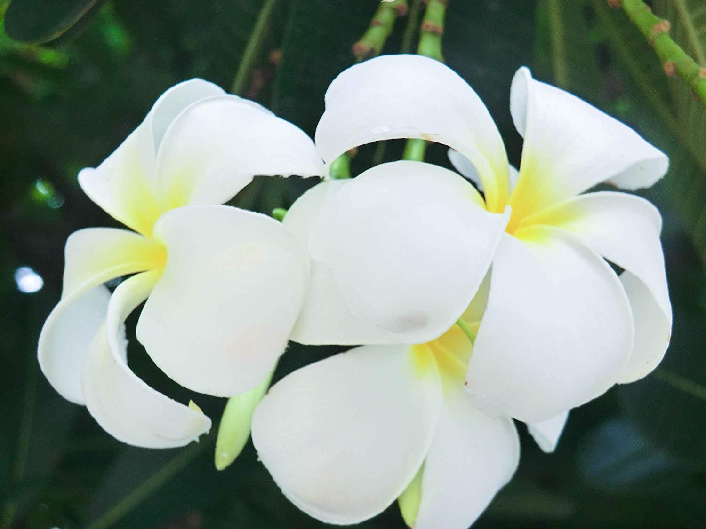 Hoa Chi Đại đẹp