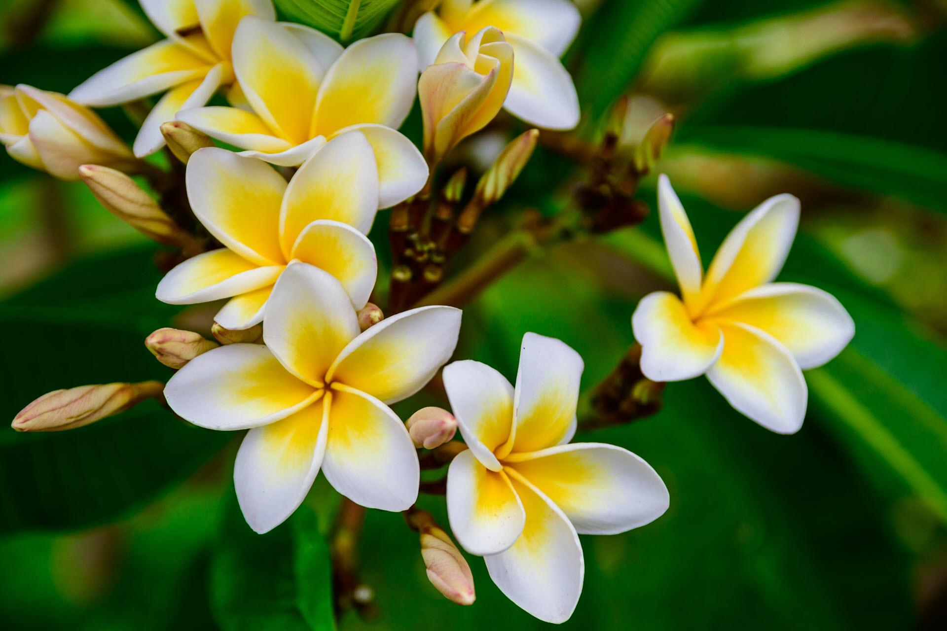 Hoa Plumeria