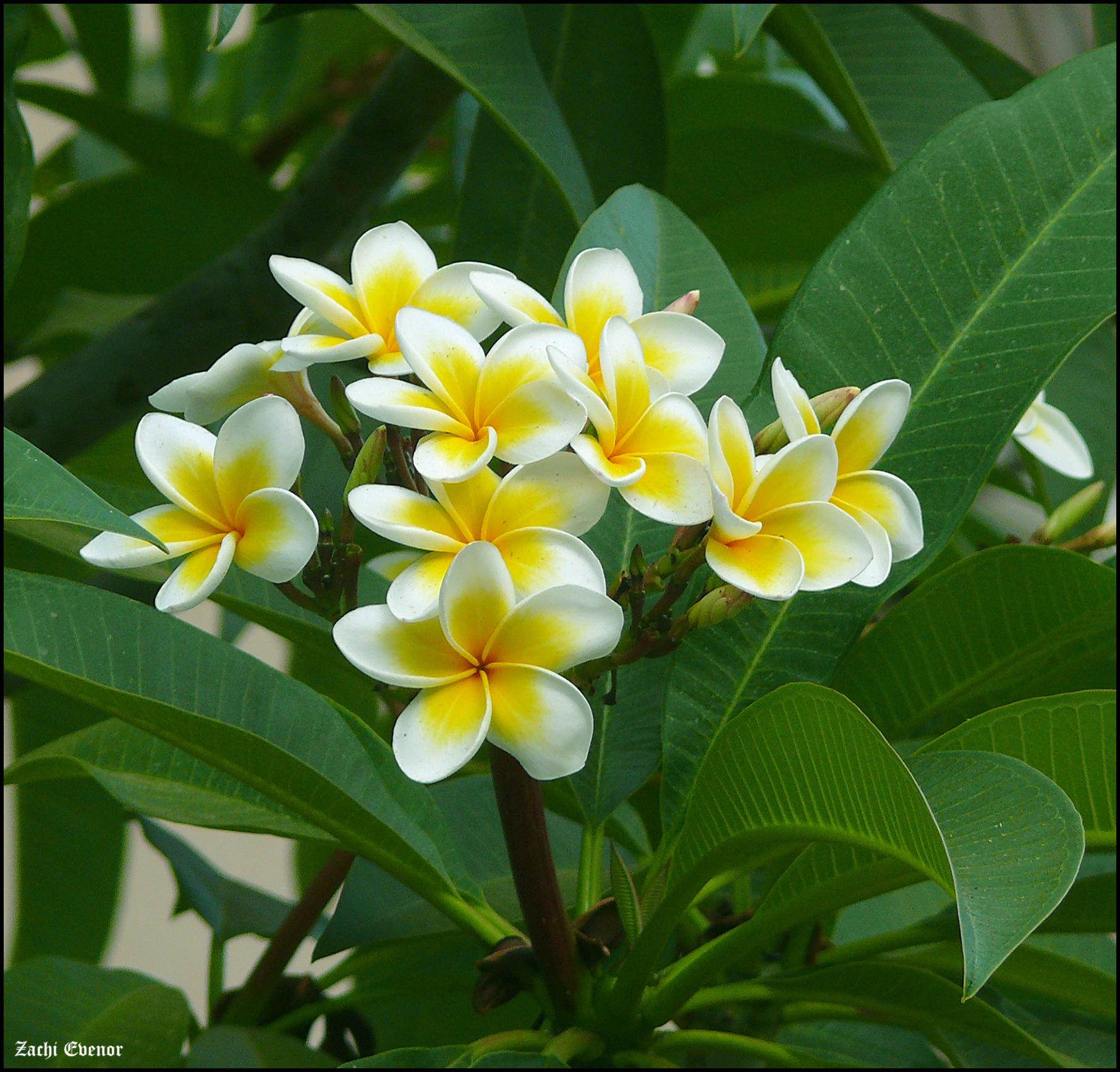 Hoa sứ trắng đẹp