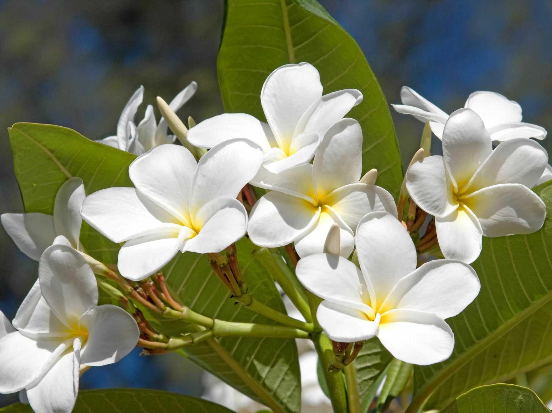 Hoa sứ vàng trắng đẹp