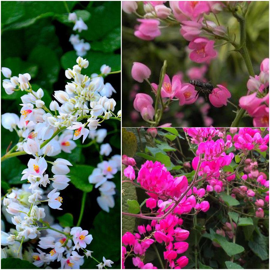 Những hình ảnh đẹp về hoa tigon