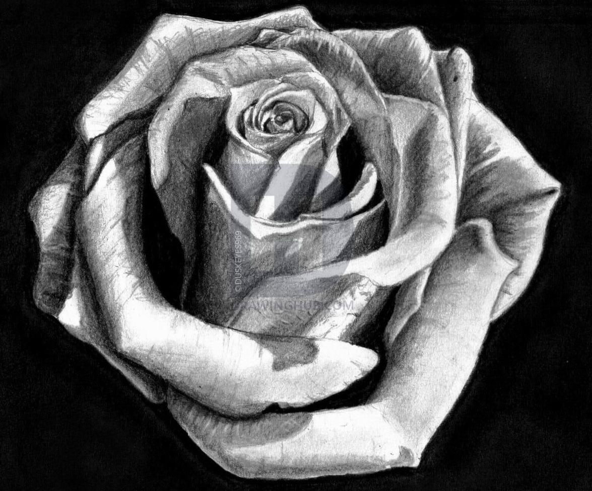 Ảnh bút chì vẽ hình hoa hồng đẹp nhất