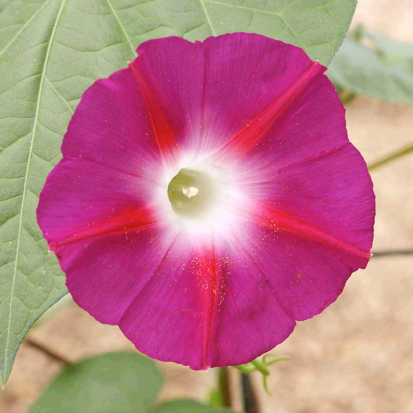 Ảnh đẹp hoa bìm bịp hồng tím