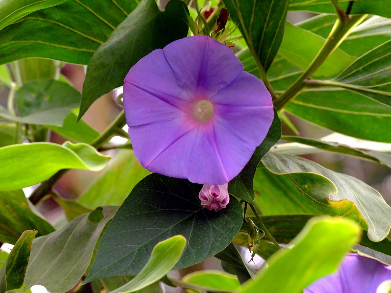 Ảnh đẹp hoa bìm bịp màu tím