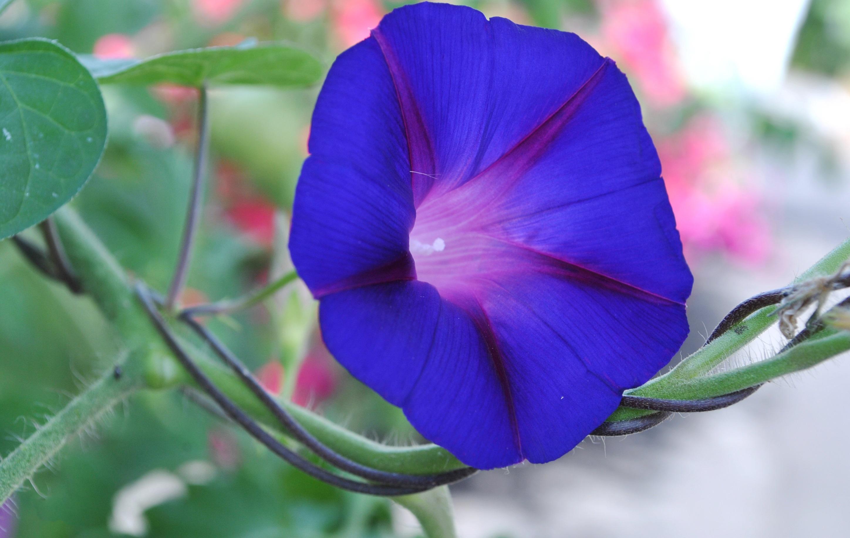Ảnh đẹp hoa bìm bịp tím