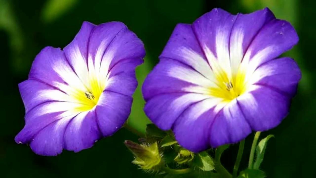 Ảnh đẹp nhất về hoa bìm bịp màu tím