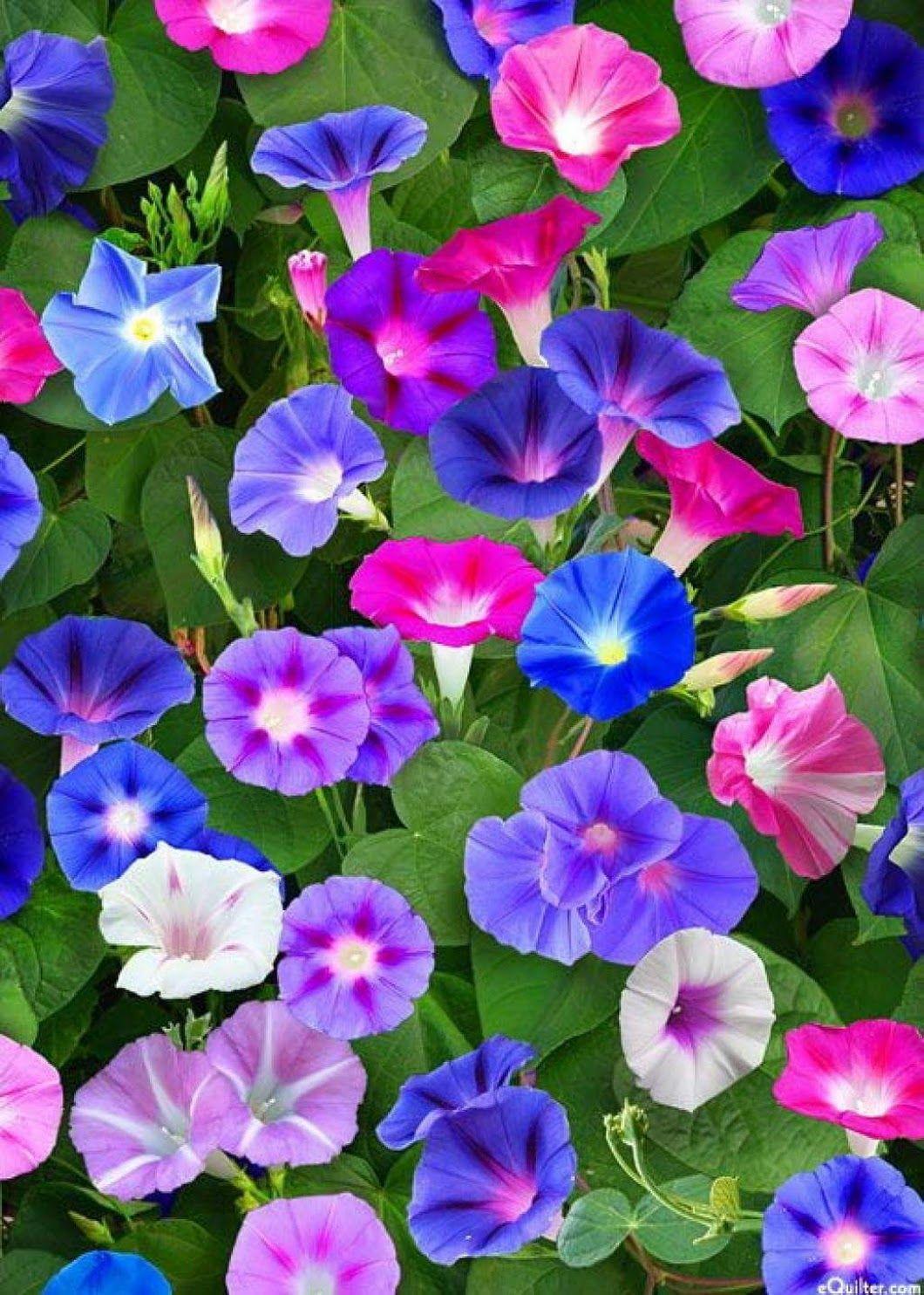 Ảnh đẹp về hoa bìm bịp được mixed màu