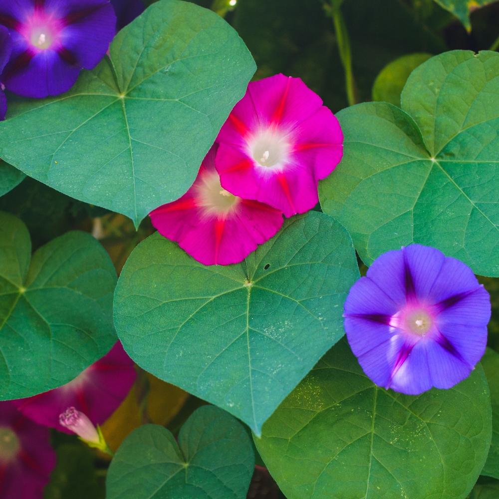 Ảnh đẹp về hoa bìm bịp được phối màu đẹp nhất