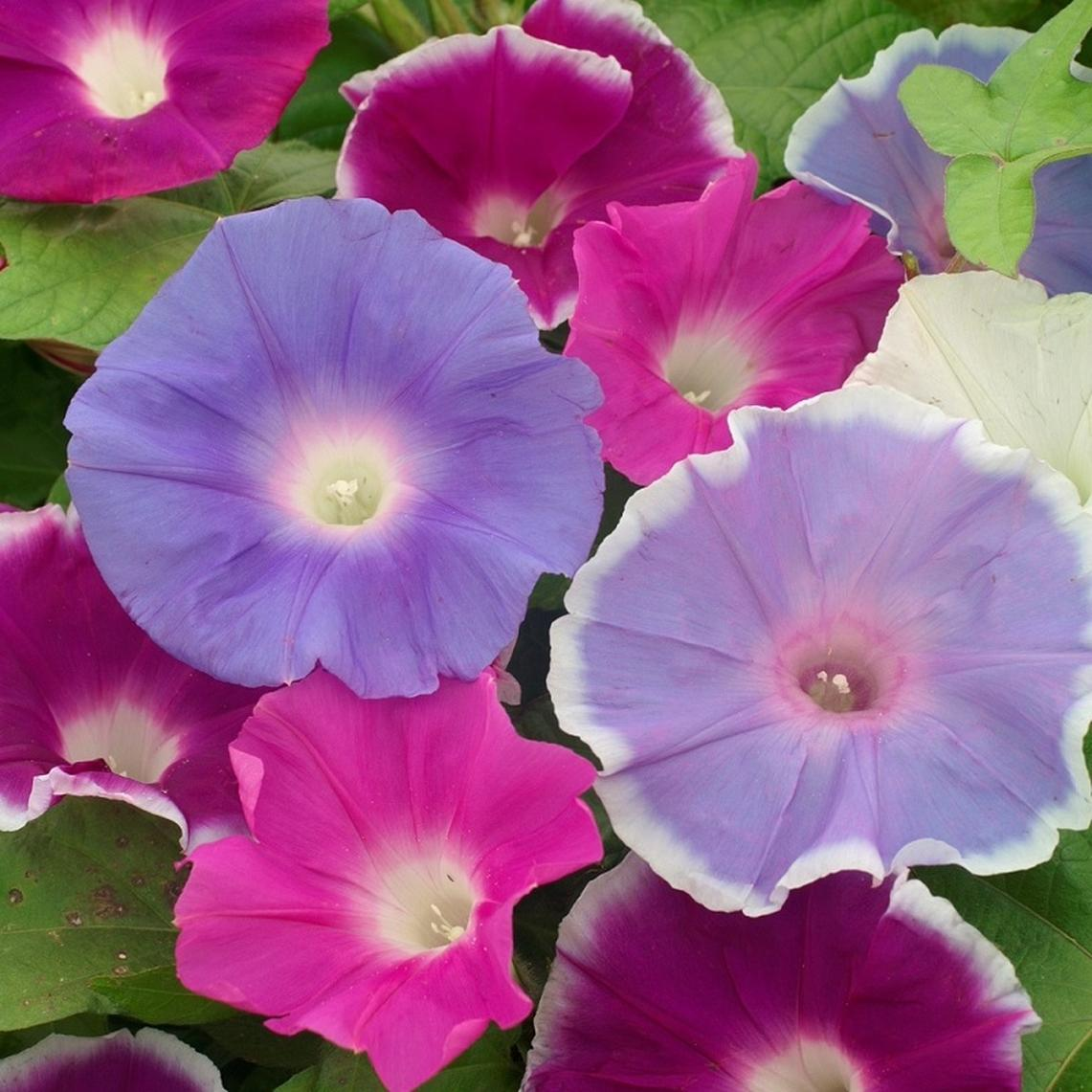 Ảnh hoa bìm bịp đủ màu sắc