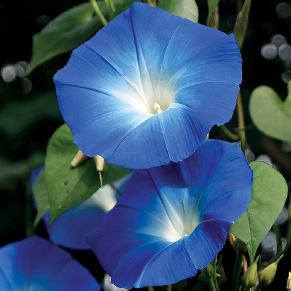 Ảnh hoa bìm bịp màu xanh đẹp nhất
